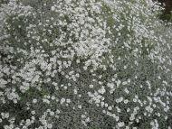 Hopeahärkki Cerastium tomentosum