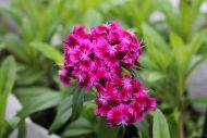 Harjaneilikka Dianthus barbatus