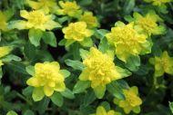 Kultatyräkki Euphorbia polychroma