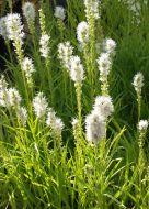 Noropunatähkä Liatris spicata 'Floristan Weiss'