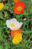 Siperianunikko Papaver croceum
