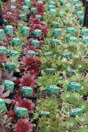 Mehitähti sekoitus Sempervivum mix