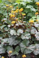 Kallionauhus Ligularia 'Britt Marie Crawford'