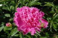 Barbara vaaleanpunainen kiinanpioni
