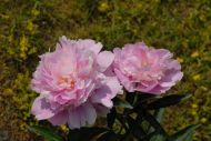 Mons. Jules Elis vaaleanpunainen kiinanpioni