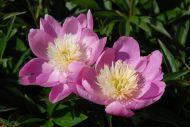 Wladyslawa vaaleanpunainen/keltainen kiinanpioni