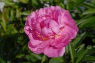 Gilbert Barthelot vaaleanpunainen kiinanpioni